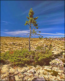 The 9,550-year-old spruce in Dalarna, Sweden (Photo: Leif Kullman)