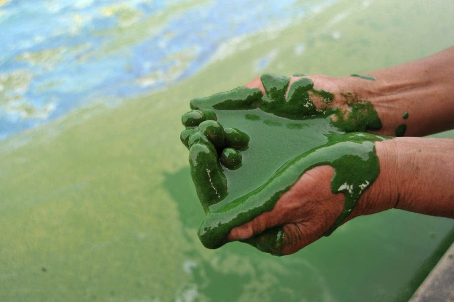 A fisherman scoops up algae-filled water from Chaohu Lake in Hefei, Anhui province, June 16, 2009.