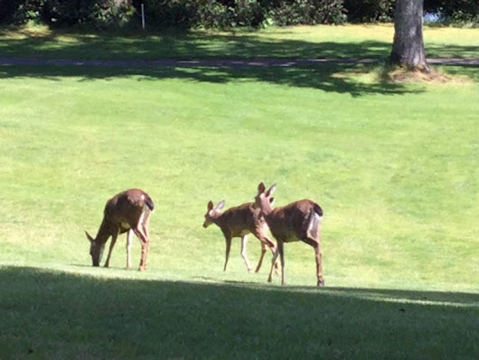 The deer are out at Alderbrook Golf, are you? - Alderbrook Golf Course