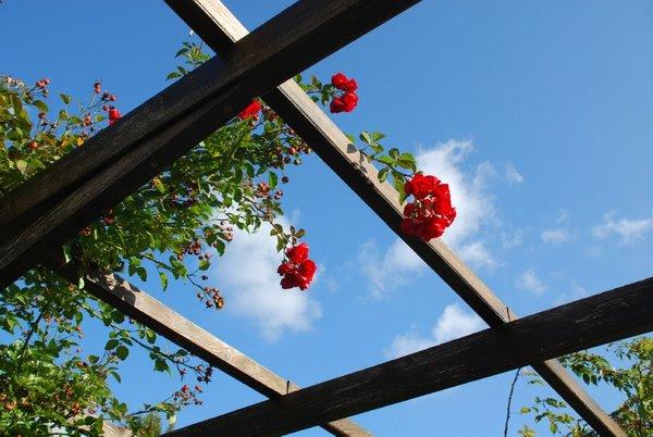 Roža na pergoli
