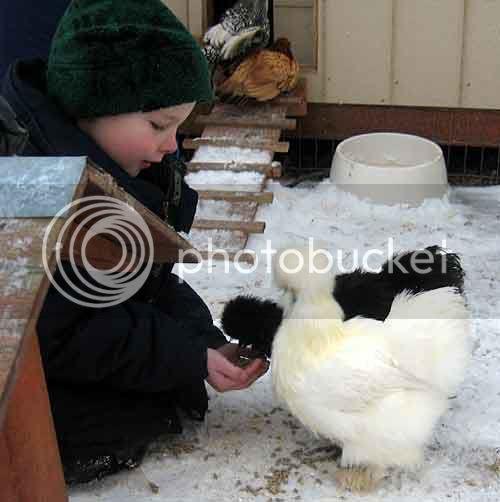 Zeke feeding chickens