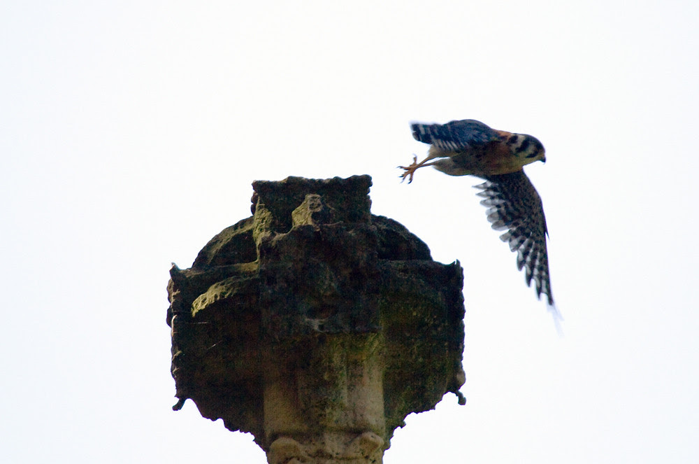 Male Kestrel Hunt