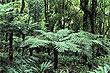 Helechos arborescentes foto