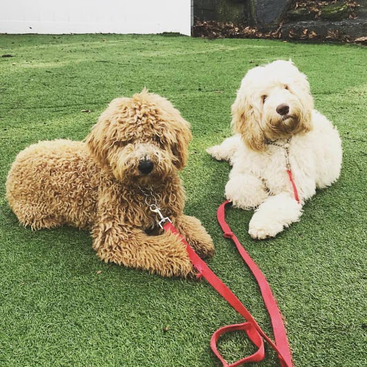 Goldendoodle & Cockapoo Training For NYC and the Surrounding Area.