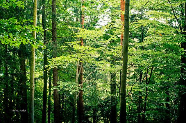 selva negra bosque PEQ-7