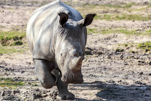 French police on the hunt for poachers who killed a white rhino in a zoo
