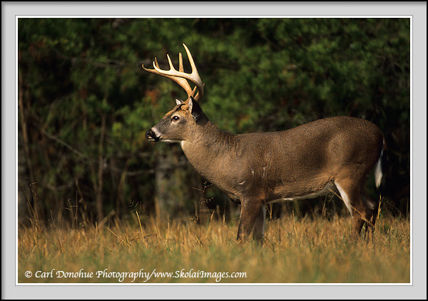 Trophy Whitetail Deer 8 Point Buck Picture