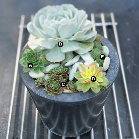 Rosette succulents on metal grate