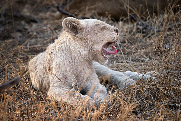 White                                                           lion cub taken                                                           in Africa
