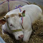 Sincey-lès-Rouvray | Bœufs et chiens à l'honneur lors de la prochaine fête du Charolais
