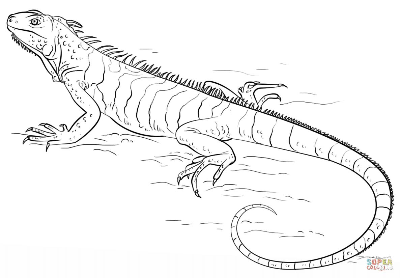 Dibujo De Iguana Para Colorear
