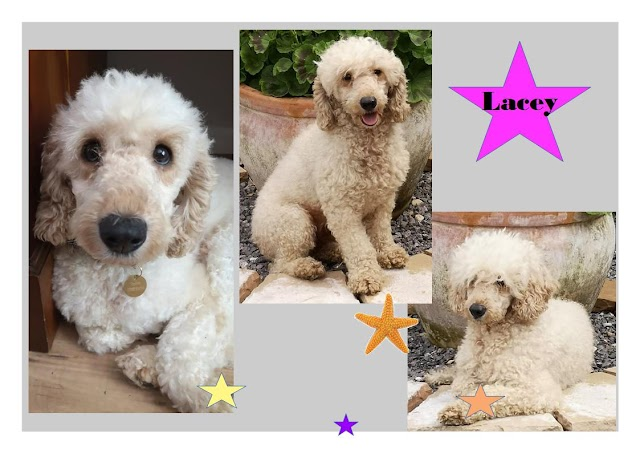 Lacy – 4 year old female Poodle Cross