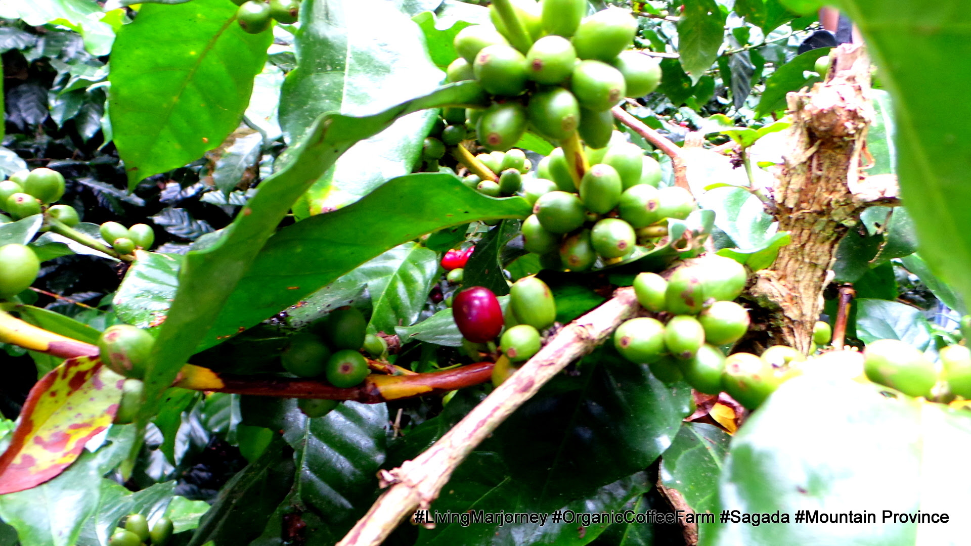 Sagada Organic Coffee Farm