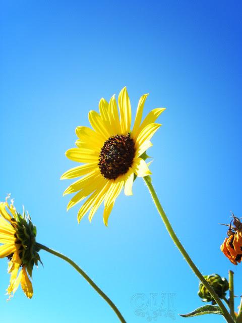 DSCN4329 Sunflower