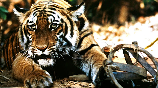 Tell Congress: End Tiger Poaching