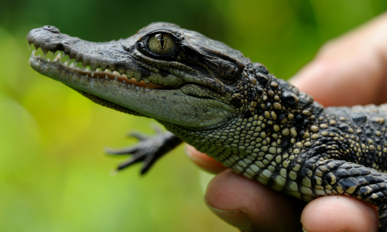 Siamese crocodile hatchling being held by conservationist