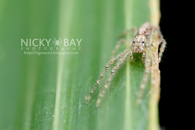 Crab Spider (Thomisidae) - DSC_6709