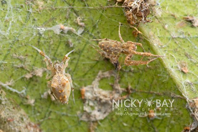 Feather-Legged Spider (Uloboridae) - DSC_6471