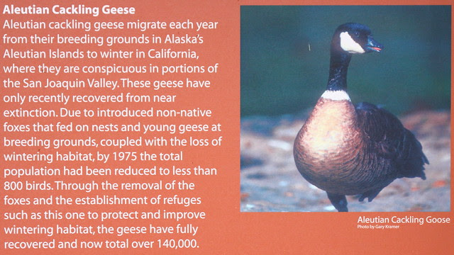 IMG_8745 Aleutian Cackling Geese
