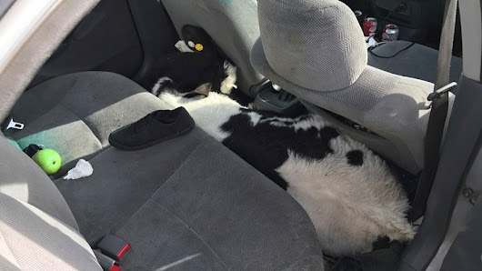 Holy cow! California police find 2 calves crammed inside car