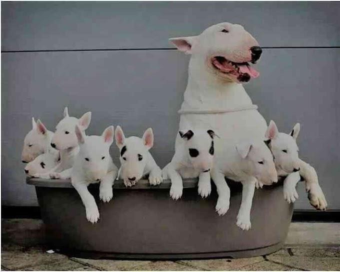 Raza exclusiva. 1.200€ cuesta un cachorro Bull Terrier Miniatura