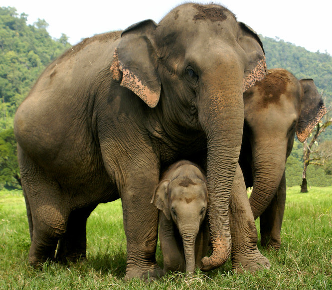 Neck strap introduced to track female elephants