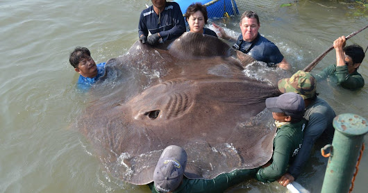 Giant stingray caught in Thailand