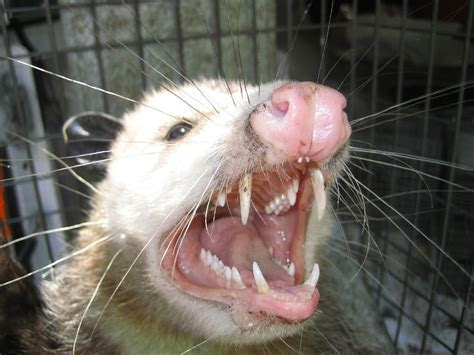 Opossums invading Brooklyn, New York; and red fox attacks Pennsylvania woman.   Natural Unseen