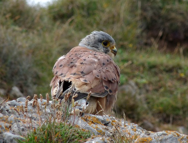 24964 - Kestrel, Oxwich Point