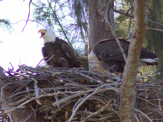 Bald Eagle female on right arrives 20131219