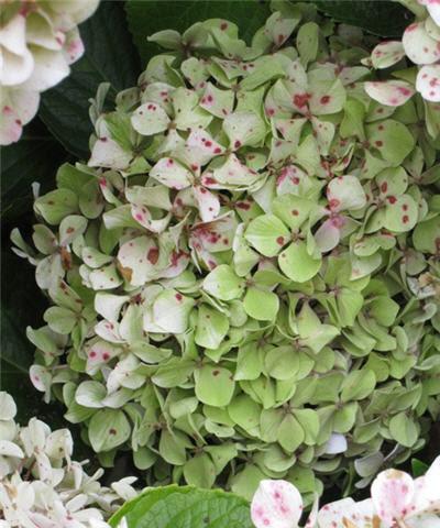 Hydrangeas - Herb Wreath - Pittosporum