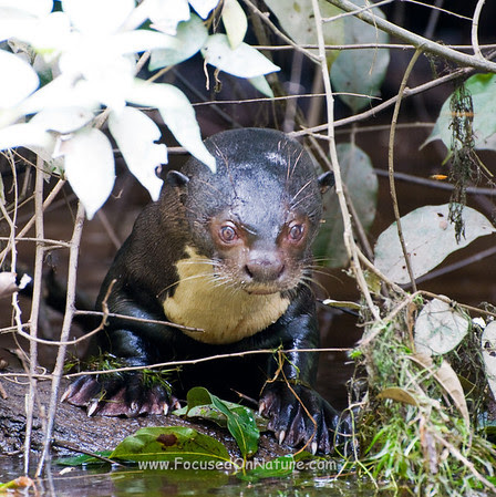 Giant River Otter with Crazy Eyes