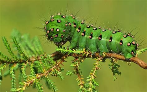 fat green caterpillar wallpapers  images wallpapers