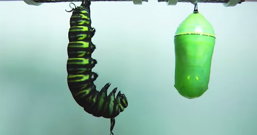 Time-Lapse: The Metamorphosis of a Caterpillar Into a Monarch Butterfly