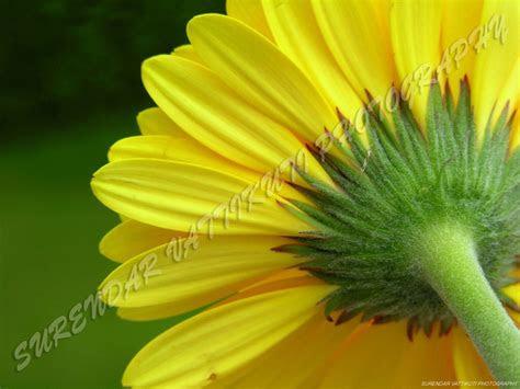yellow daisy rear zoom wallpapers yellow daisy rear zoom
