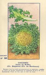 legume84 chicoree