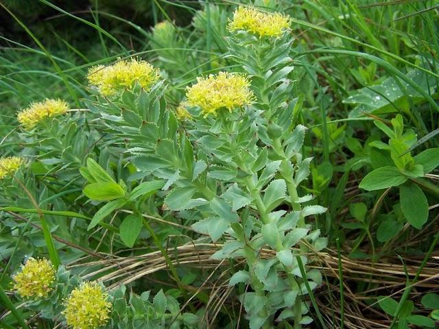 Rozewortel Rhodiola rosea (Gods EHBO kist)