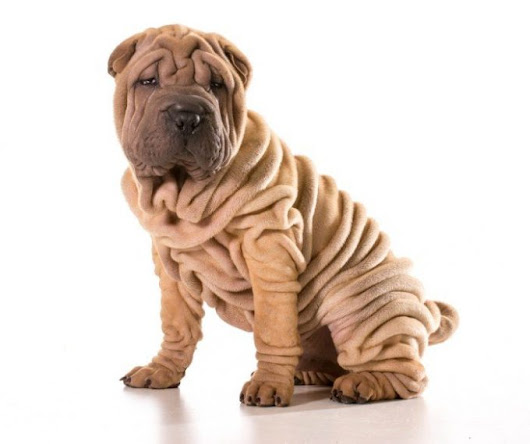 Wrinkly Dogs - 10 Most Famous & Lovely Droopy Face Dog Breed | MrsDoggie