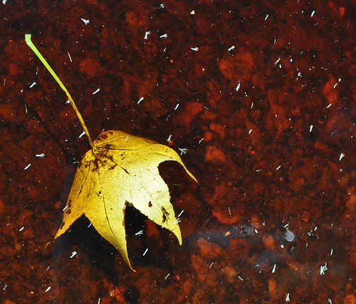 Maple in Canal Water