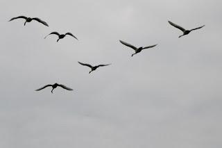 Un volo di cigni in formazione