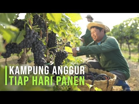 Kampung Anggur Ninel di Bantul yang Sukses Menarik Wisatawan