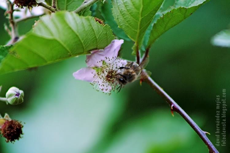 Una abeja obrera trabajando sobre una flor en una planta con espinas en algún lugar de Zamora