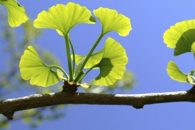 Brain Vitamins 101 - Ginkgo Biloba at a Glance - Brain Smart