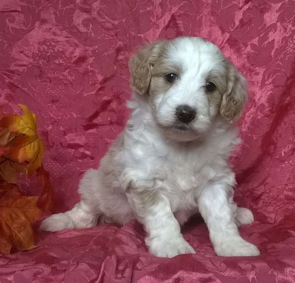 Puppies For Sale Near Me Mombasa Kenya
