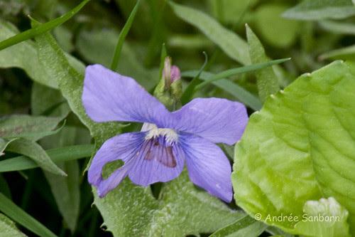 Violet (genus Viola)-6.jpg