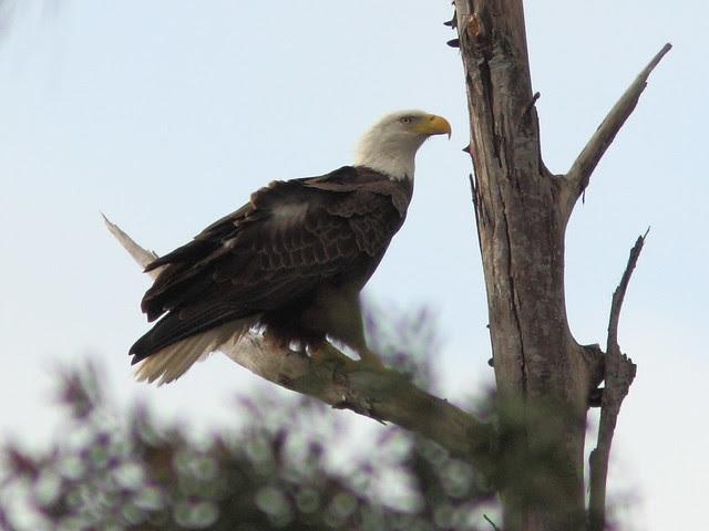 Bald Eagle male arrives 0854 20121221