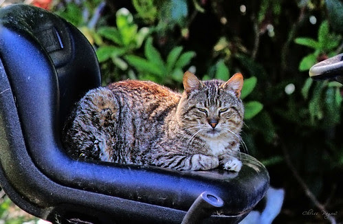 Tabby Cat On Tractor