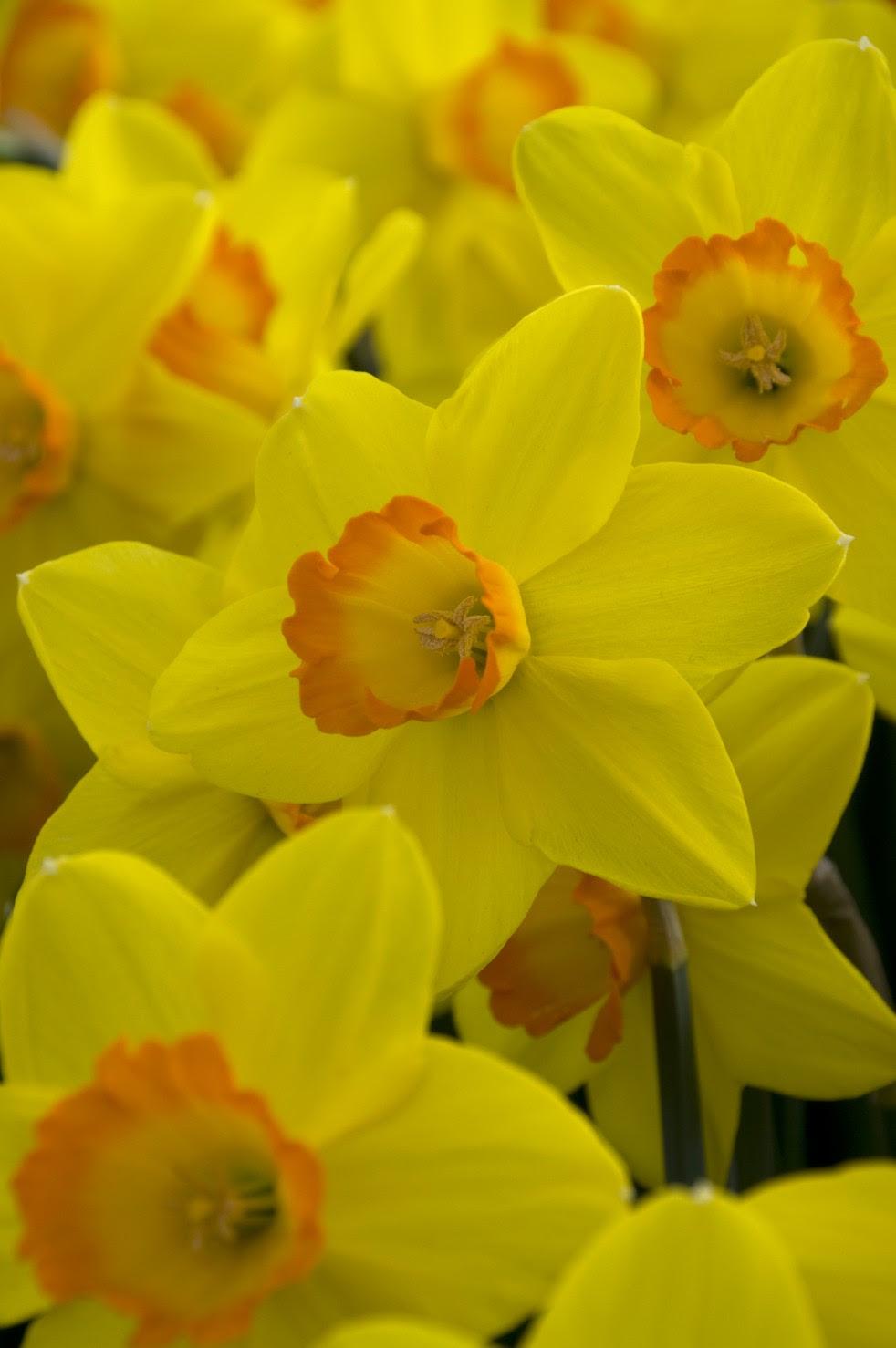 How To Grow Daffodils Planting Daffoldil Bulbs Growing Daffodils