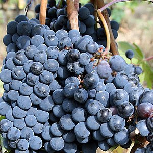 A close-up view of sangiovese grapes to be mad...