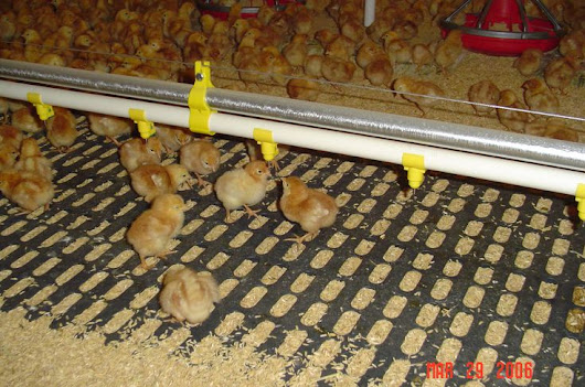 Baby Chicks at Gemperle Farms